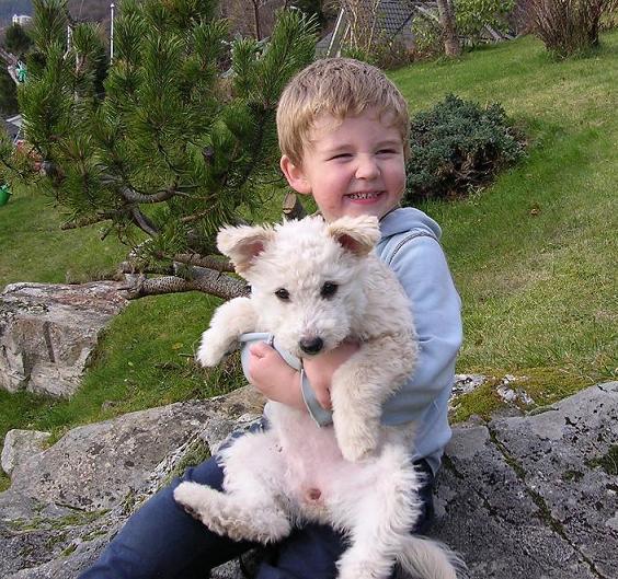 welsh terrier til salgs